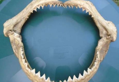 Énorme machoire d'un requin 1