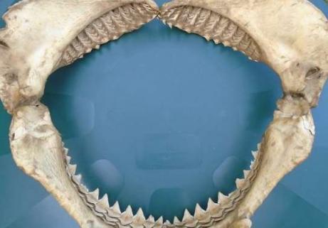 Énorme machoire d'un requin 2