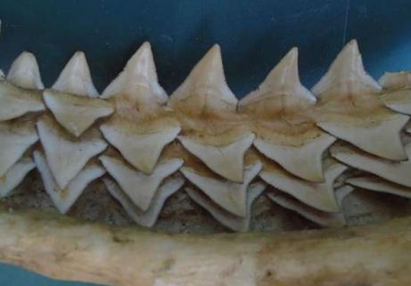 Énorme machoire d'un requin 4